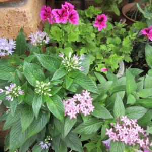 暑さにも雨にも強いペンタスが咲きだした!きびなごのてんぷら