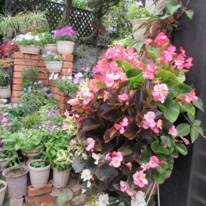 ベゴニアはいつまで咲く?猛暑に強い日々草!雨には要注意!