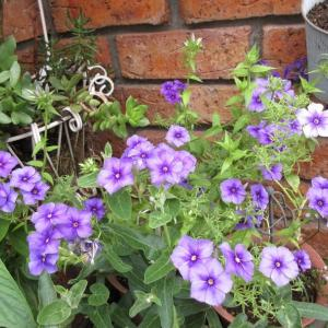 花壇の入れ替え!フロックスは長く綺麗!ガザニアの剪定