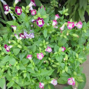 トレニアが咲いてます!ジーちゃん弱すぎ‼ポケモンカード