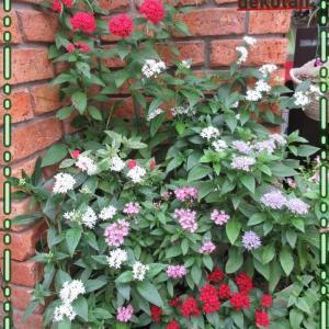 猛暑、風に強い、長く咲く我が家のベスト5のお花達!おススメ