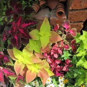 夏に枯らしても秋に頑張ると来春は更に花いっぱい!ケイトウ