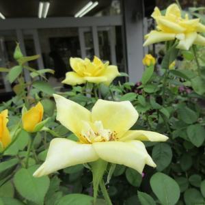 バラの見ごろは?ジニアプロフュージョンを長く楽しむコツ!