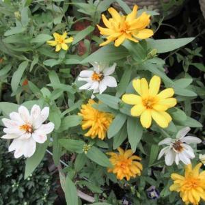 夏の花のジニア、トレニア、ペチュニアの種の採り方