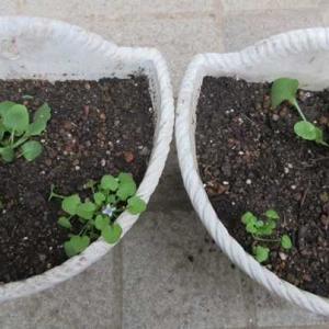 ビオラとイオノプシジウムの寄せ植え開始♪プレゼント用の花の準備