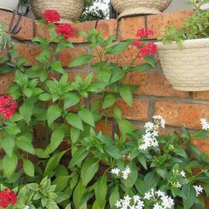 ペンタス、ガーデンマムが綺麗!ユリオプスデージーは挿し木で咲く