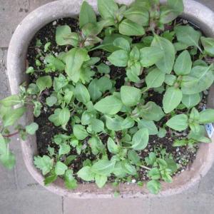 寒さ避けに腐葉土!実生のゴデチヤを上手に育てる方法♪ ♪