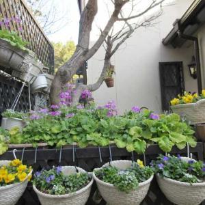 プリムラガーデンが始まります♪こぼれの苗の植え替え♪