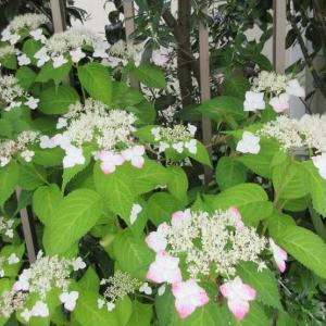 亡くなった友達の庭に♪5月が大好き!ヤマアジサイ、ウチワサボテン