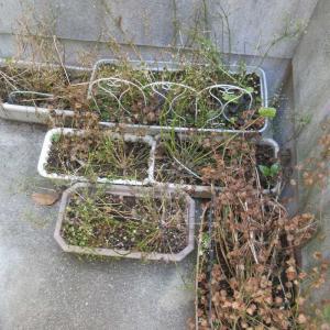 プリムラ達を枯らさない夏越えの仕方と春に早く咲かせる方法