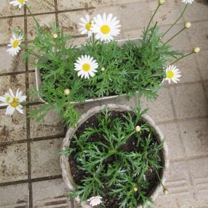 マーガレットとオステオスぺルマムは挿し木で夏越え♪夏に大切な花