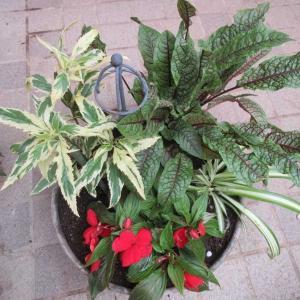 雨に強いサンパチエンスとカラーリーフの寄せ植えが美しい♪