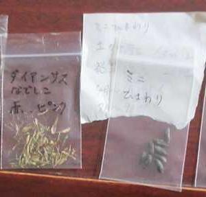 真夏に必要なお花の種まき♪トレニア、マリーゴールドなど。