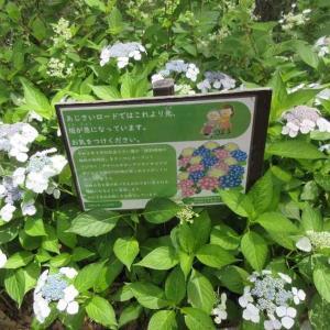 服部緑地のアジサイロードとパンチ力のある寄せ植えの植え方