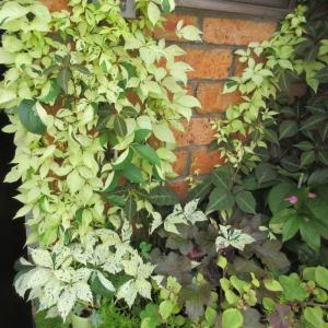 夏花壇に!美しい斑入りヘンリーツタ♪金魚草を何度も剪定するコツ♪