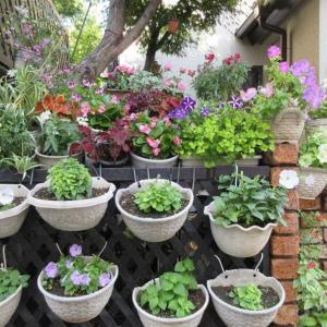 ラティスにペチュニア花壇作り♪プリムラの種が一杯夏越え