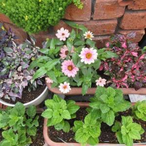 次のお花はジニアプロフュージョン❣ 裏には小さい苗と球根
