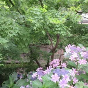 つかしんの雨のアジサイが美しい!2階の寄せ植えにもびっくり♪