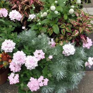 暑くても花いっぱい!カリブラコア、ペチュニア、バーベナ♪