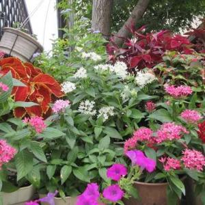 ペンタスが一番美しい季節到来!挿し木で増やし冬越え