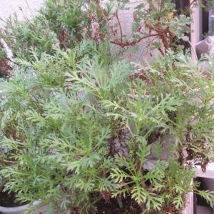夏越えできたマーガレットで挿し芽作り♪ぺラルゴニウムの植え替え