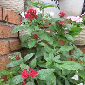 夏のお花の冬越え準備に挿し芽!ペンタスとコリウス