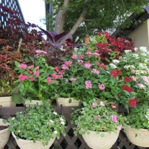 秋花壇に花の入れ替え!インパチェンス、ジニアプロフュージョン