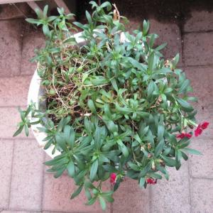 ナデシコ(ダイアンサス)は挿し木で更新♪ムシトリナデシコが発芽!