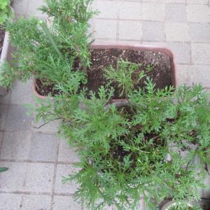 夏越えしたマーガレットの挿し木と剪定の仕方♪ストックの種