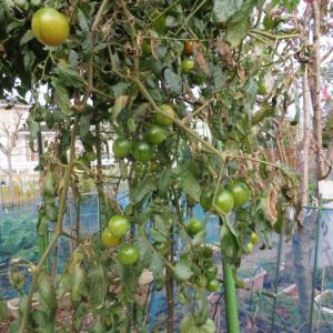 ミニトマトの撤収