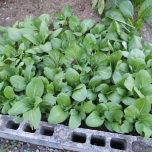 青梗菜の収穫