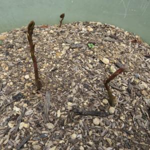 自然薯の芽が出てきました