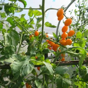トマトの種取