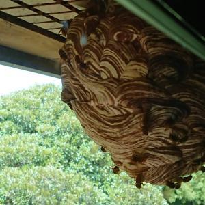 我が家に巨大スズメバチの巣ができてた!
