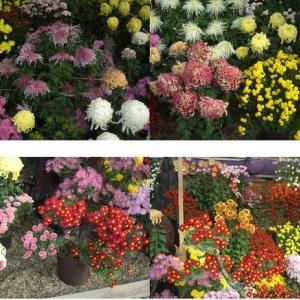 橿原神宮の菊とヤタガラス