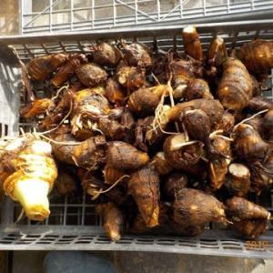 今日の収穫 サトイモ ダイコン ハクサイ