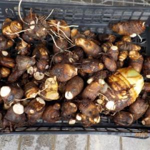 今日の収穫 サトイモ キャベツ ブロッコリー