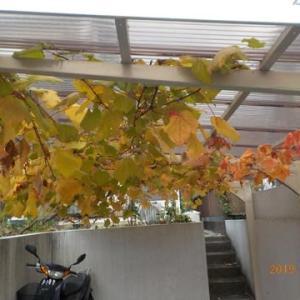 ブドウの葉を落とし剪定をしました