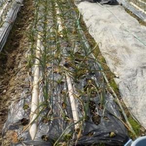 畑の野菜の様子 ニンニク タマネギ グリ-ンピース スナックエンドウ キヌサヤ