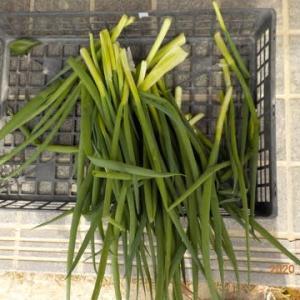 今日の収穫 ネギ シイタケ