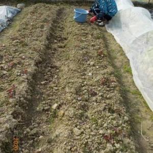 今日も雑草抜き 雑草はゴミ袋でたい肥に