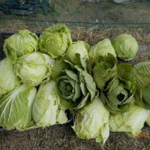 今日の収穫 ハクサイ キャベツ ネギ ブロッコリー ホウレンソウ