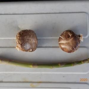 今日の収穫 シイタケ2枚 アスパラガス1本