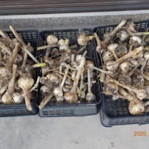 今日の収穫 ニンニク ニンジン タマネギ チマ・サンチュ