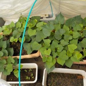 サツマイモを7本植えつけました 合計292本に