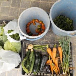 今日の収穫 キャベツ キュウリ ズッキーニ ナス ニンジン ネギ ブロッコリー トマト 青シソ バジル
