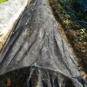 サツマイモの畝に遮光ネットをかぶせました