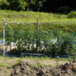 トマト 追加の畝にも防鳥ネットをしました