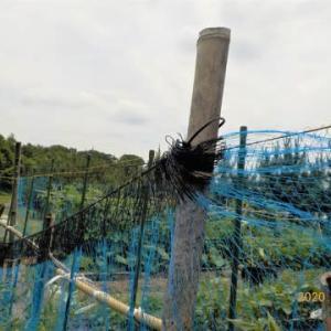 追加のトマトの畝にも防鳥糸を張りました