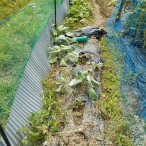 サツマイモを10本植えつけました 合計377本に